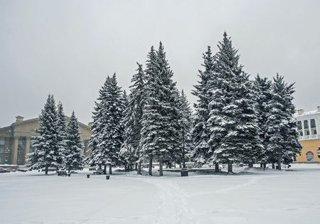 blue spruce trees in the city square during the unexpected spring snowfall, southern Urals, Chelyabinsk