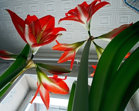 red flower with Latin name Hippeastrum blooms on the windowsill Stock Photo
