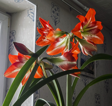Amaryllis red flower, narrow focus area Reklamní fotografie