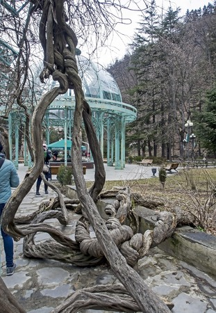 old intertwined vines in the Park of Borjomi in the spring