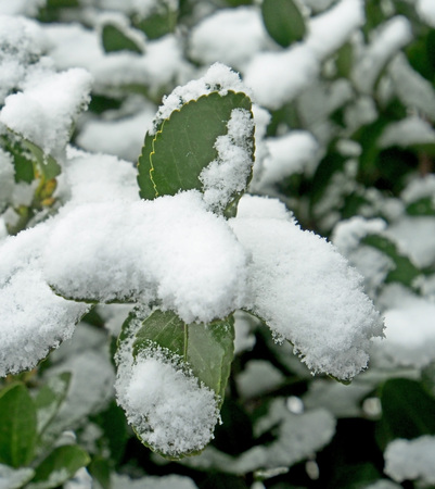 green leaves covered with unexpected spring snow