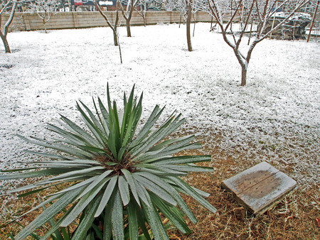 palm seedling covered with unexpected spring snow