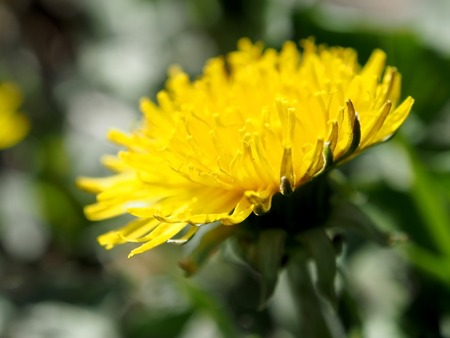 bloomed the first spring flowers dandelions under the bright sun among the withered grass Stock Photo