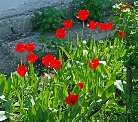 bright red spring tulips bloomed in the garden