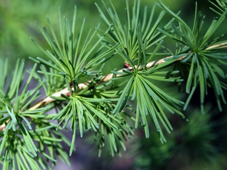 larch branch with fresh needles-leaves