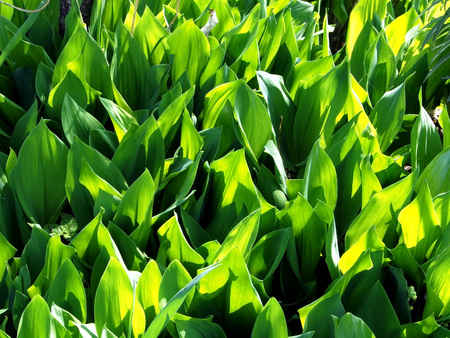 glade of green Lily-of-the-valley leaves like little tender tongues of green flame Stok Fotoğraf