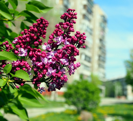 lilac is gaining color and begins to bloom on the background of the urban landscape Reklamní fotografie
