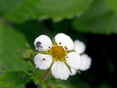 garden pest beetle with Latin name Curculionidae on strawberry flower