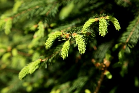 young green shoots on the branches of spruce illuminated by the spring sun