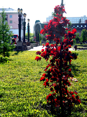 tree with the Latin name Acer platanoides 'Crimson Sentry' grows in Chelyabinsk in the Park 版權商用圖片