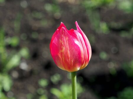 bright red spring tulip bloomed in the garden Imagens