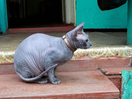 young cat breed Sphinx gray color on the porch of a country house, photo in profile