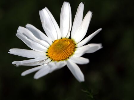 daisies with dew drops illuminated by the morning sun, soft focus, narrow focus area 스톡 콘텐츠
