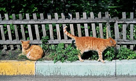 two red cats bask in the sun near the front garden
