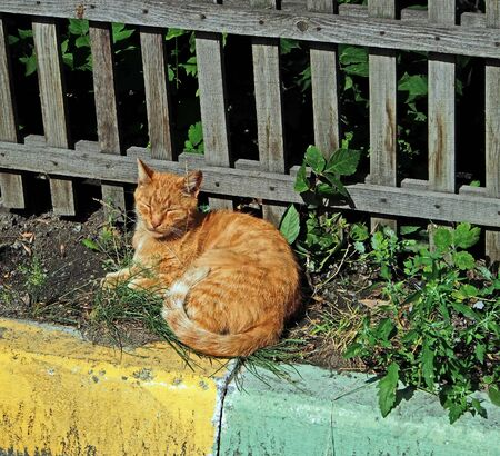 red cat basks in the sun with his eyes closed with pleasure