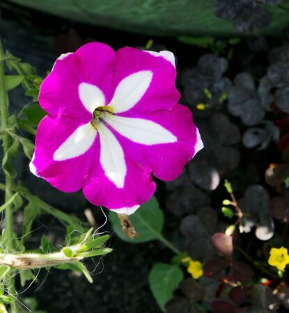 blooming colorful petunias in the garden, illuminated by the sun Stock fotó