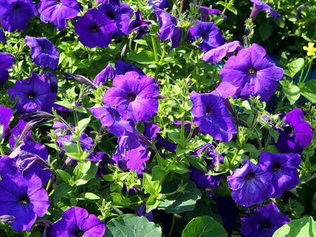 blooming purple petunias in the garden, illuminated by the sun