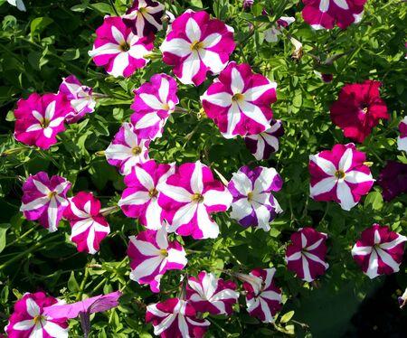 blooming colorful petunias in the garden Stock fotó
