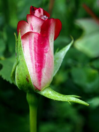 delicate Bud of a red rose that has not yet blossomed in the early morning in the garden Фото со стока