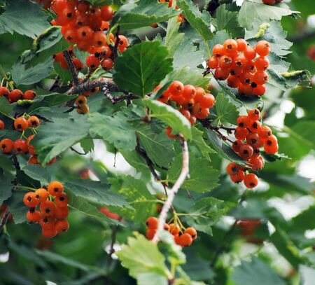 ripe hawthorn berries on a tree