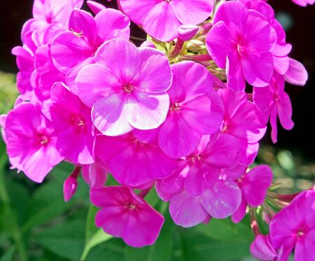 Blooming Phlox with pink petals on the background of plants and grass.