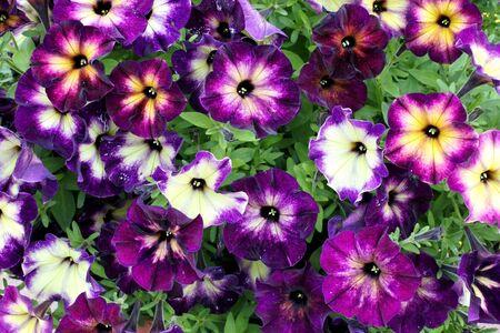 beautiful colorgul flowers Petunia Crazytunia moonstruck in the garden