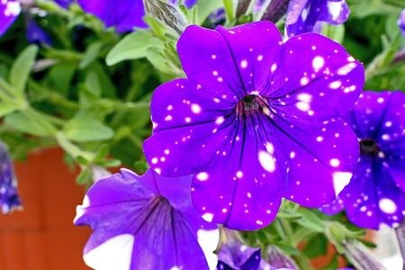 bright beautiful Petunia Constellation Virgo reminds starry sky at night