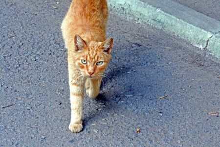 red cat goes to the photographer and looks at him Banco de Imagens