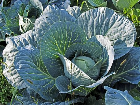 almost ripe cabbage in the garden, will soon be able to harvest Zdjęcie Seryjne