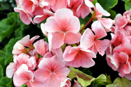 blooming light pink petunias in the garden illuminated by the sun