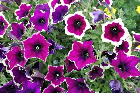Petunia flowers with the name Cascadias Rim Magenta in the garden