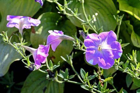 blooming light purple petunias in the garden illuminated by the sun