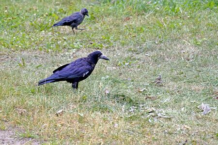 rook, a bird with the Latin name Corvus frugilegus looking for food in the grass