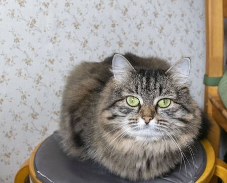 striped cat Siberian breed sitting on a chair and looks at the photographer