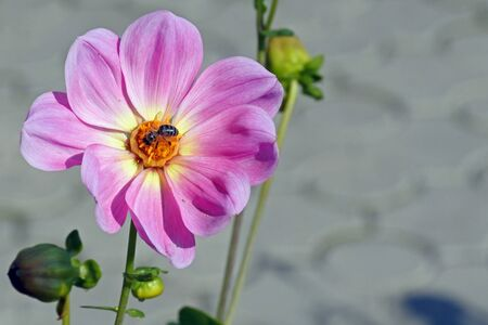 pink Dahlia in the garden with a bee sitting on a flower Banco de Imagens
