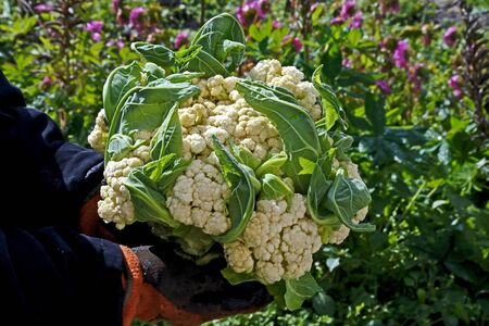 fresh cauliflower in the hands of a man on the background of a blurred natural landscape