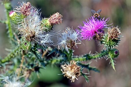 bee collects nectar from the flowering Thistle in the southern Urals