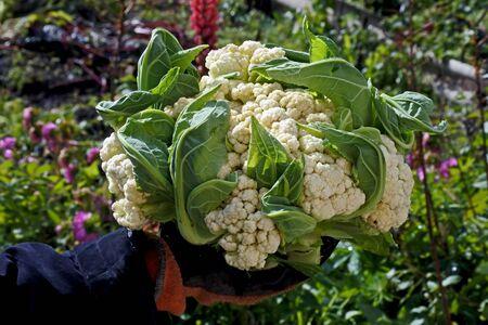 fresh cauliflower in the hands of a man Reklamní fotografie - 132171914