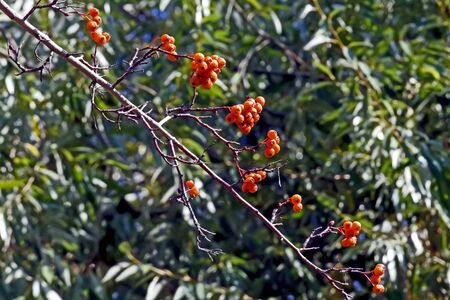 ripe hawthorn berries on a branch, a healthy berry