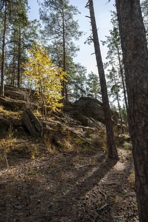 young birch with yellow autumn leaves in a pine forest, autumn in the southern Urals