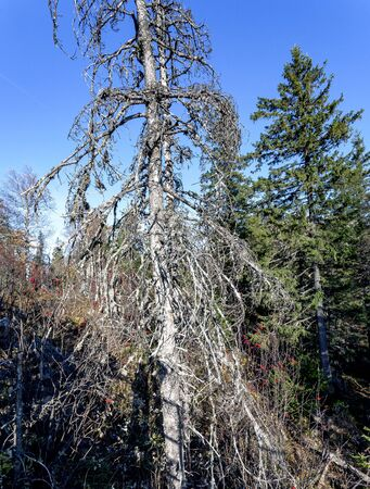 dried spruce in the forest covered with lichen, southern Urals early autumn Stock fotó