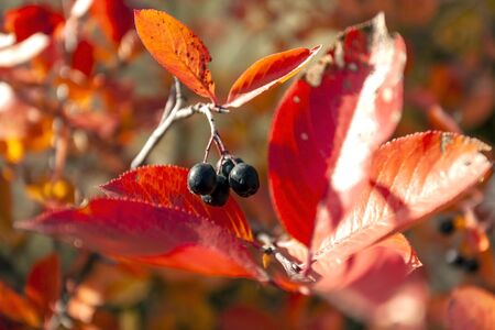 black mountain ash berries on an autumn Bush with colorful leaves, black mountain ash is very useful for health Archivio Fotografico