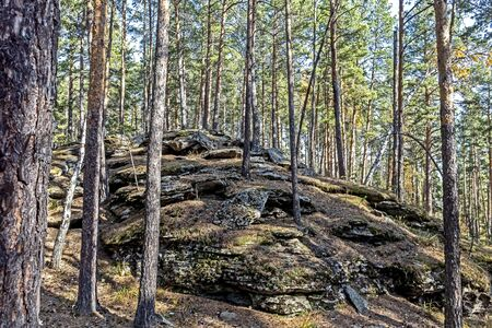 Pine Forest in the southern Urals in the area of Chashkovsky ridge near the city of Miass, autumn, stone ridges are ancient Ural mountains, the layered structure of ancient granite is visible