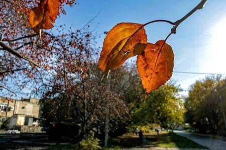 orange autumn leaves on a branch illuminated by the sun, macro, narrow focus area Reklamní fotografie