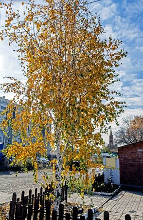 young birch with autumn leaves illuminated by the sun in the suburbs of the southern Urals