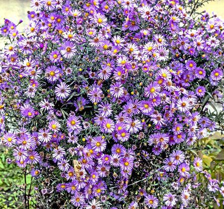 Bush bright lilac autumn flowers with the Latin name Symphyotrichum novi-belgii bloom in autumn