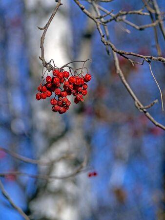dried Rowan berries on a tree in winter against a blue sky