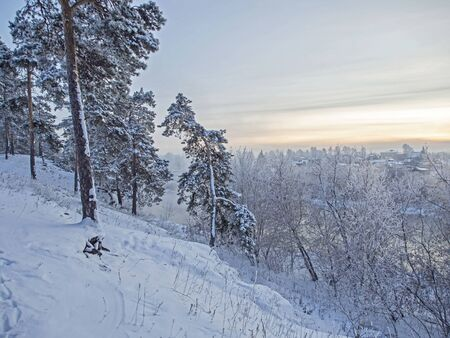 curved snow covered pine on the slope of a cold winter evening in the southern Urals