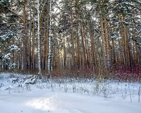 pine winter forest in the early morning in the southern Urals Reklamní fotografie