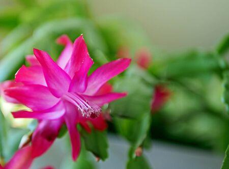 beautiful scarlet blooming Christmas cactus on the windowsill Stock Photo